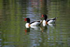 Common Shelduck. A couple of Common Shelducks in a lake Royalty Free Stock Image