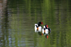 Common Shelduck. A couple of Common Shelducks in a lake Royalty Free Stock Photography