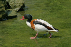 Common shelduck Stock Image