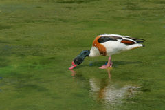 Common shelduck Royalty Free Stock Image