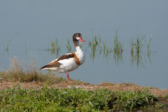 Common shelduck female / Tadorna tadorna Stock Photos