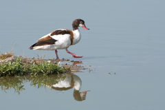 Common shelduck female / Tadorna tadorna Stock Images