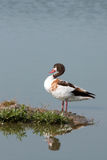 Common shelduck female / Tadorna tadorna Royalty Free Stock Images