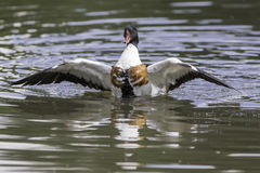 Common shelduck. Male duck with wings outstretched on water. Magnificent waterfowl Stock Images