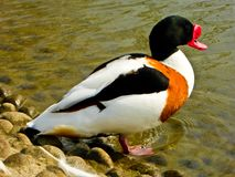 Common Shelduck near lake Stock Photos