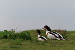 Common Shelduck Tadorna tadorna Royalty Free Stock Images