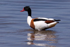 Common Shelduck (Tadorna tadorna) Royalty Free Stock Images