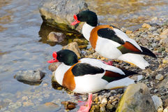 Common shelduck (Tadorna tadorna). Two males common shelducks (Tadorna tadorna) in their habitat stock photography