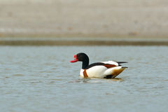 Common Shelduck - tadorna tadorna Stock Photography