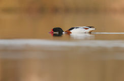 Common Shelduck Tadorna tadorna male Stock Photography