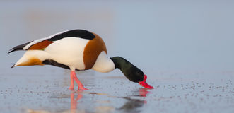 Common shelduck - Tadorna tadorna - male. At the shore of the Curonian Lagoon, Lithuania in spring Royalty Free Stock Photo