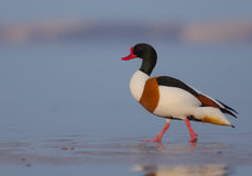 Common shelduck - Tadorna tadorna - male. At the shore of the Curonian Lagoon, Lithuania in spring Royalty Free Stock Images
