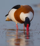 Common shelduck - Tadorna tadorna - male. At the shore of the Curonian Lagoon, Lithuania in spring Royalty Free Stock Photography