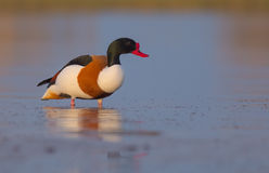 Common shelduck - Tadorna tadorna - male. At the shore of the Curonian Lagoon, Lithuania in spring Stock Images