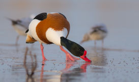 Common shelduck - Tadorna tadorna - male. At the shore of the Curonian Lagoon, Lithuania in spring Royalty Free Stock Image