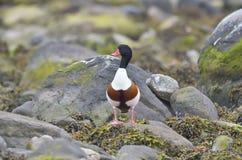 Common Shelduck - tadorna tadorna Royalty Free Stock Photo