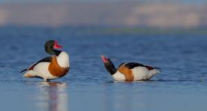 Common shelduck - Tadorna tadorna - pair Royalty Free Stock Photo