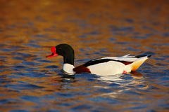 Common Shelduck, Tadorna tadorna, is waterfowl species shelduck, in the nature habitat, blue and brown autumn water level, France Royalty Free Stock Photos