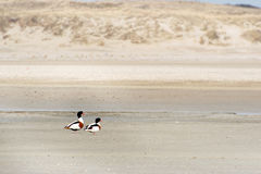 Common Shelduck at Texel Stock Photo