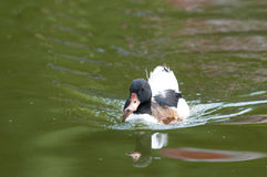 Common Shelduck on water Stock Photos