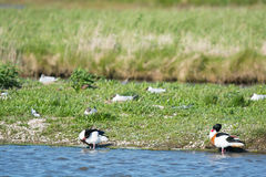 Common shelducks and black-headed sea gulls Royalty Free Stock Images