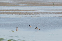 Common shelducks foraging in wadden sea. Couple common shelducks foraging in wadden sea Royalty Free Stock Photography