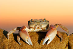 Common shore crab Royalty Free Stock Photo