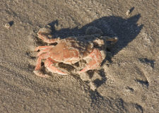 Common Shore Crab upon Ameland beach, Holland Stock Images