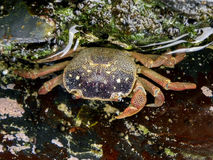 Common shore crab Royalty Free Stock Images