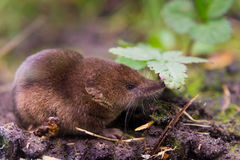 Common shrew (Sorex araneus). Close up Stock Photography