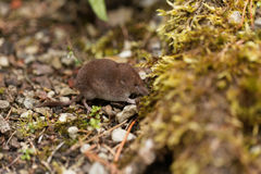 Common shrew, Sorex araneus. A common shrew, Sorex araneus, on a forest floor Stock Photos