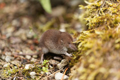 Common shrew, Sorex araneus. A common shrew, Sorex araneus, on a forest floor Royalty Free Stock Image