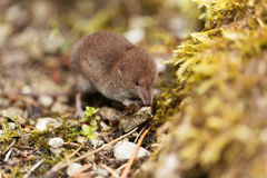 Common shrew, Sorex araneus. A common shrew, Sorex araneus, on a forest floor Royalty Free Stock Photos