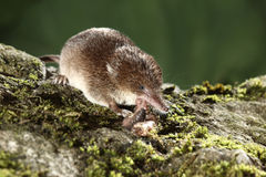 Common shrew, Sorex araneus. Single animal eating worm, Midlands, August 2010 Royalty Free Stock Image