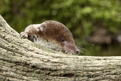 Common shrew, Sorex araneus Royalty Free Stock Images