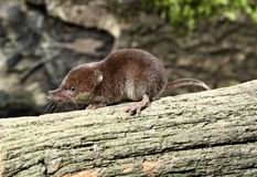 Common shrew, Sorex araneus. Single animal, Midlands, August 2010 Stock Photos