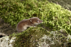 Common shrew, Sorex araneus. Single animal, Midlands, August 2010 Stock Image