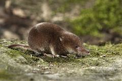 Common shrew, Sorex araneus. Single animal, Midlands, August 2010 Royalty Free Stock Photography