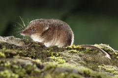 Common shrew, Sorex araneus. Single animal, Midlands, August 2010 Royalty Free Stock Photo