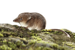 Common shrew, Sorex araneus,. Single animal, Midlands, August 2010 Royalty Free Stock Image