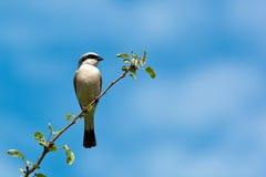 Common Shrike, Lanius collurio, male. The Common Shrike (Lanius collurio) perching on a tree branch Stock Photo