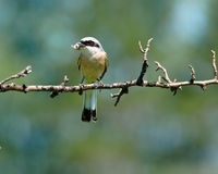 Common Shrike, Lanius collurio, male Royalty Free Stock Photo