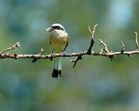 Common Shrike, Lanius collurio, male. The Common Shrike (Lanius collurio) perching on a tree branch Royalty Free Stock Photo