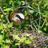 Common Shrike, Lanius collurio, male. The nest of a Common Shrike (Lanius collurio) in the blackthorn Stock Photos