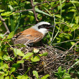 Common Shrike, Lanius collurio, male Stock Images