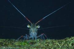 Common shrimp warrior Royalty Free Stock Photo
