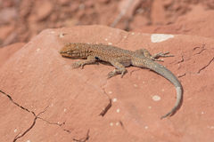 Common Side-Blotched Lizard in the Desert Royalty Free Stock Photo