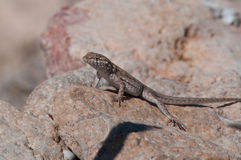 Common Side-blotched Lizard. On rocks in Nevada royalty free stock photos
