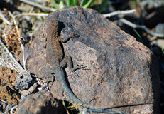 Common Side-blotched Lizard (Uta stansburiana). Image shows a Common Nevada Side-blotched Lizard (Uta stansburiana nevadensis&#x29 Stock Photo