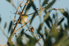Common Silvereye bird in wild Stock Image